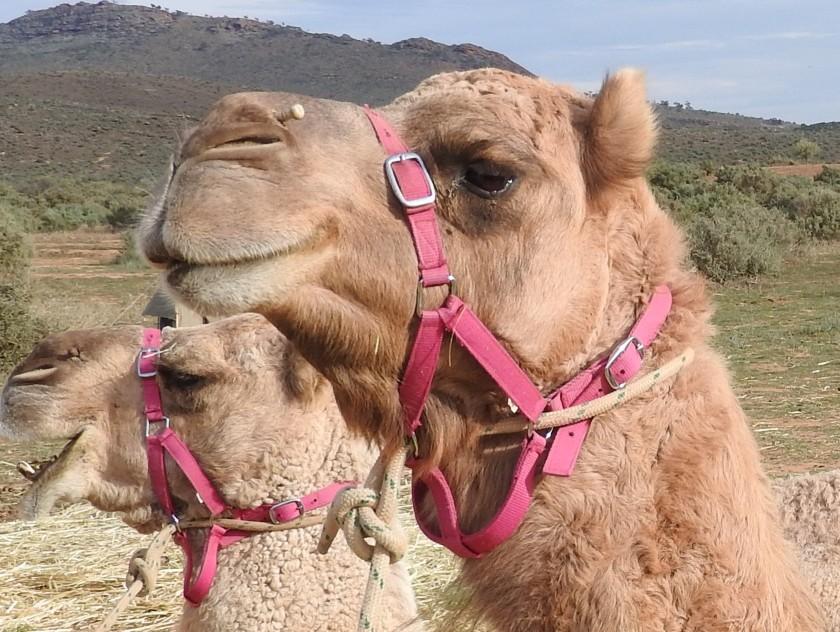 FLINDERS RANGES WALKING WITH THE CAMELS